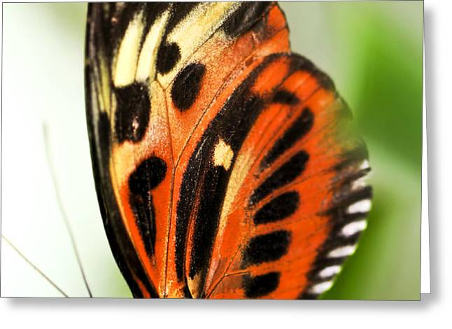Large tiger butterfly Greeting Card by Elena Elisseeva