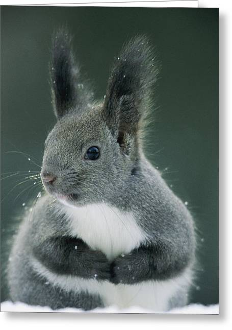 Sciurus Greeting Cards - Large Tufted Ears Grace An Greeting Card by Tim Laman