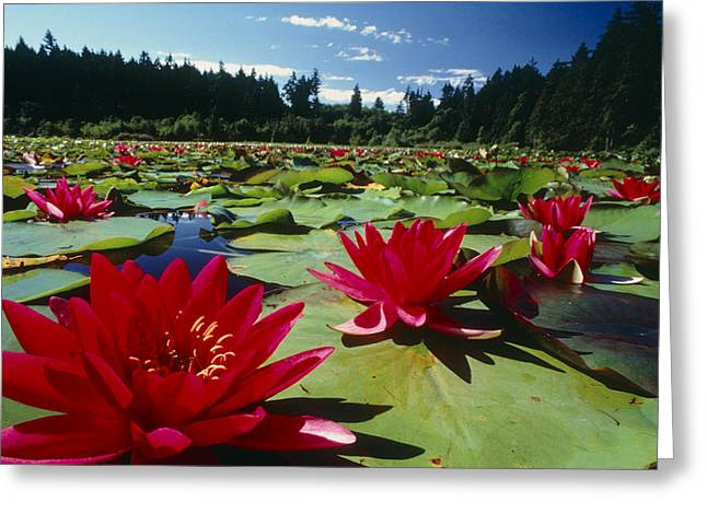 Monocotyledon Greeting Cards - Large Water Lilies, Nymphaea Greeting Card by David Nunuk