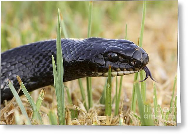 Wild Racers Greeting Cards - Large Whipsnake Coluber jugularis Greeting Card by Alon Meir
