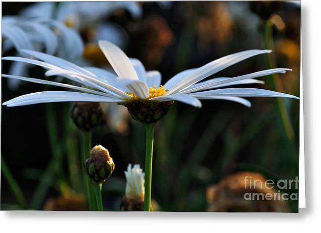 Daisy Bud Greeting Cards - Last Glimpse of Sunshine Greeting Card by Kaye Menner