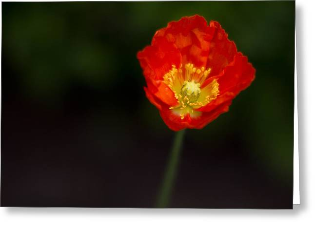 Anemones Greeting Cards - Last One Standing Greeting Card by Rebecca Cozart
