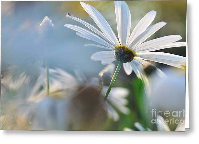 Sunlight On Flowers Greeting Cards - Late Sunshine on Daisies Greeting Card by Kaye Menner