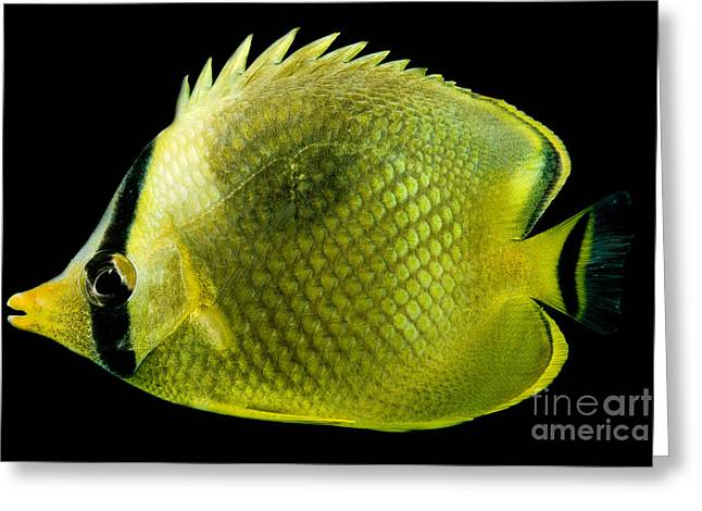 Reef Fish Greeting Cards - Latticed Butterflyfish Greeting Card by Danté Fenolio