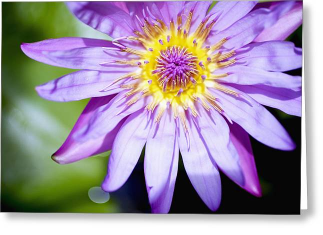 Lavendar Water Lily Greeting Card by Kicka Witte