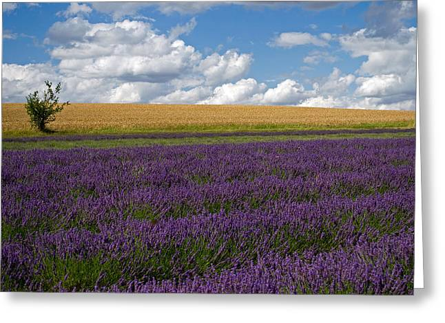 Hitchin Greeting Cards - Lavender 1 Greeting Card by Rosie Herbert