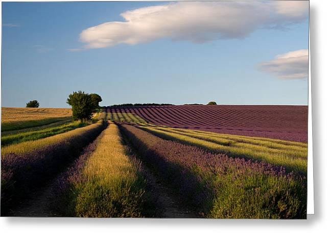 Hitchin Greeting Cards - Lavender 3 Greeting Card by Rosie Herbert