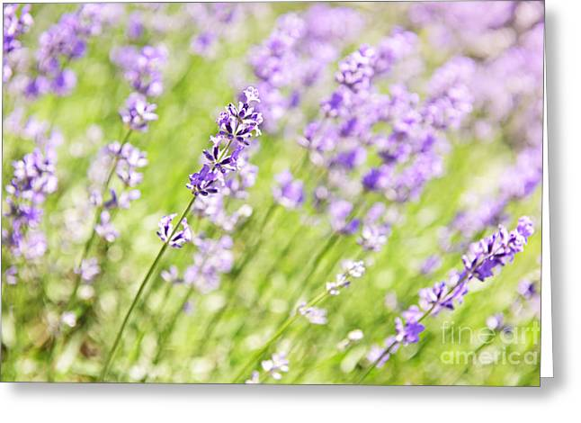 Sense Greeting Cards - Lavender blooming in a garden Greeting Card by Elena Elisseeva