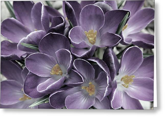 Carolyn Stagger Cokley Greeting Cards - Lavender Crocus Greeting Card by Carolyn Stagger Cokley