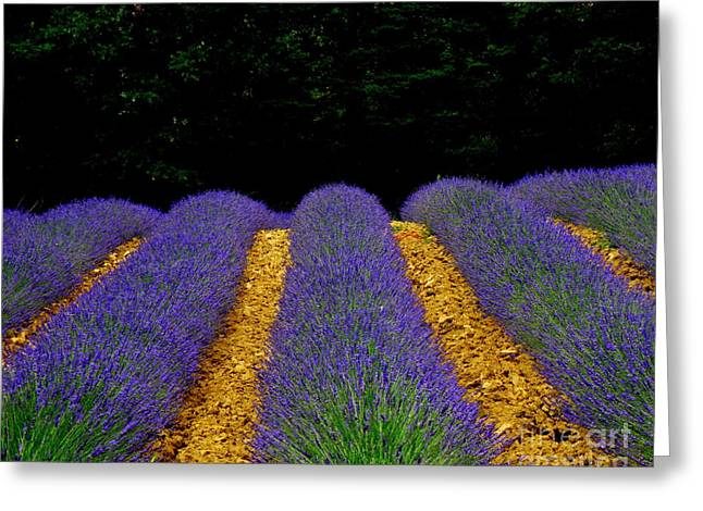 Lainie Wrightson Greeting Cards - Lavender Field Greeting Card by Lainie Wrightson