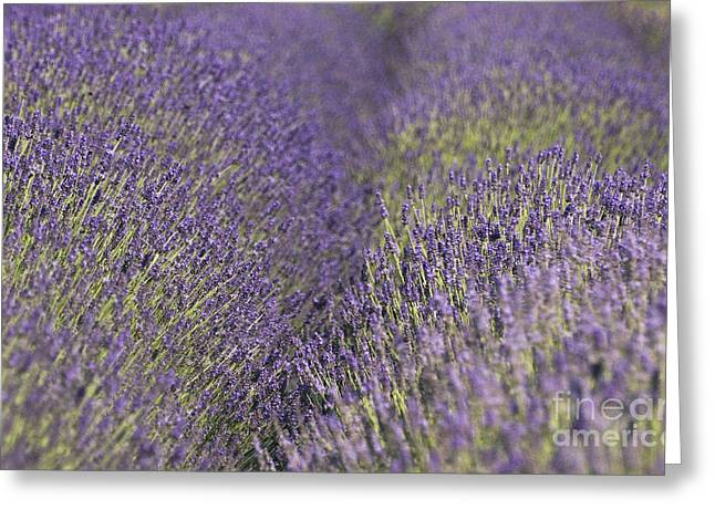 Couer Greeting Cards - Lavender Fields Heart Greeting Card by Anahi DeCanio
