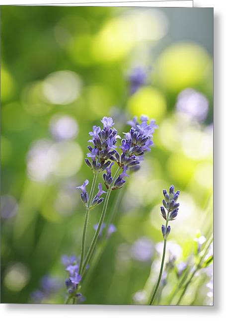 Lavandula Greeting Cards - Lavender Garden Greeting Card by Frank Tschakert