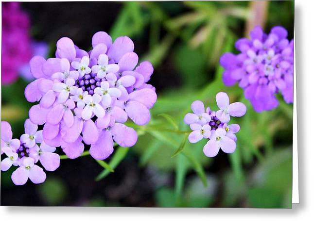 Pincushion Greeting Cards - Lavender Hue Greeting Card by Cathie Tyler