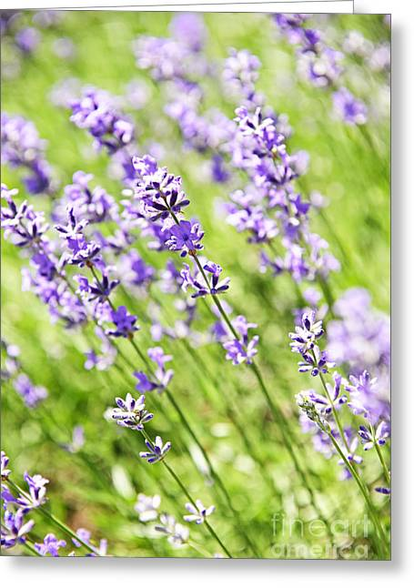 Flowering Greeting Cards - Lavender in sunshine Greeting Card by Elena Elisseeva