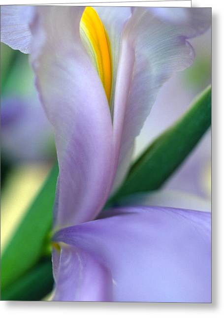 Flower Photos Greeting Cards - Lavender Iris Greeting Card by Kathy Yates