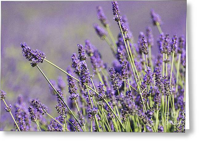 Anahi Decanio Greeting Cards - Lavender Lovers Greeting Card by Anahi DeCanio