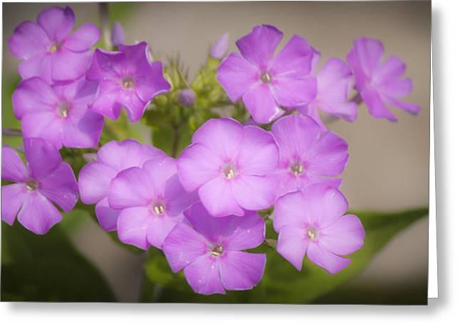 Purple Phlox Greeting Cards - Lavender Phlox Greeting Card by Teresa Mucha