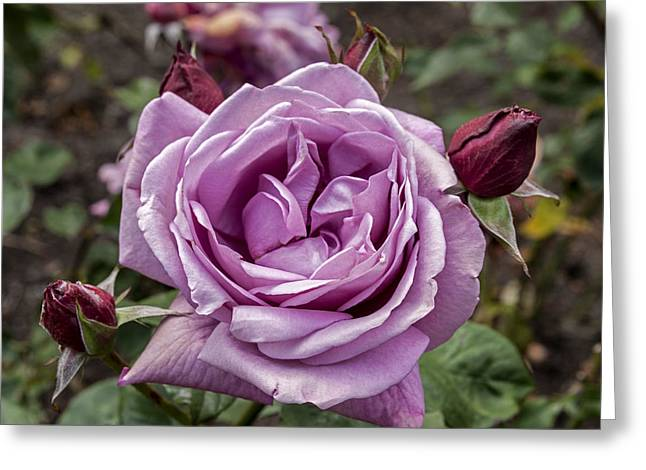 Roses Greeting Cards - Lavender Rose Greeting Card by Anthony Citro