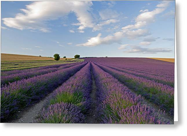 Hitchin Greeting Cards - Lavender Greeting Card by Rosie Herbert