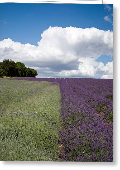 Hitchin Greeting Cards - Lavender stripes Greeting Card by Rosie Herbert