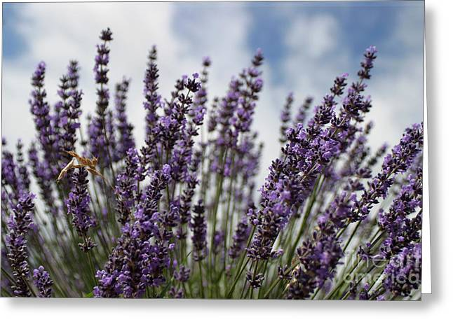 Lilies Framed Prints Greeting Cards - Lavender Greeting Card by Robert  Torkomian