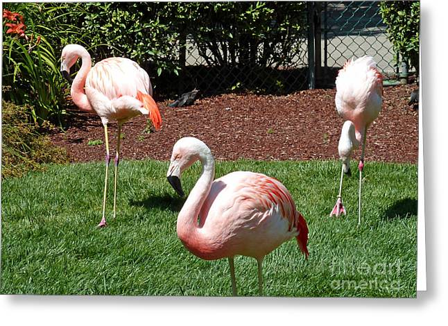 Pink Flamingo Nature Photo Greeting Cards - Lawn Ornaments Greeting Card by Methune Hively