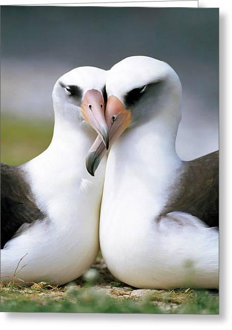 Bonding Greeting Cards - Laysan Albatross Phoebastria Greeting Card by Tui De Roy