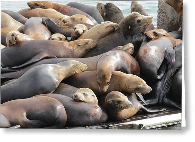 California Sea Lions Greeting Cards - Lazy Afternoon 2 Greeting Card by Sakari Kouti