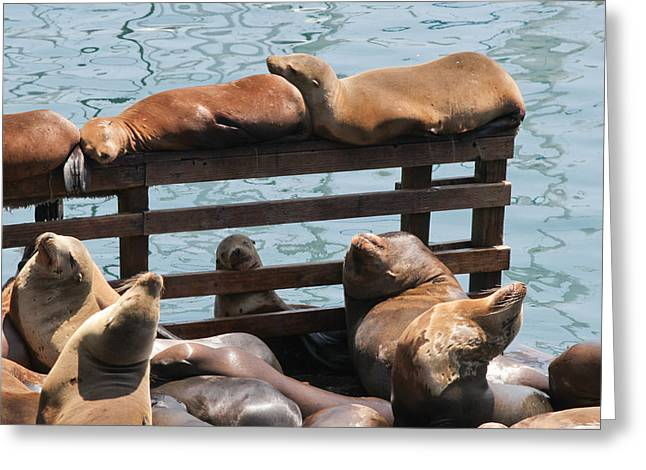 California Sea Lions Greeting Cards - Lazy Afternoon Greeting Card by Sakari Kouti