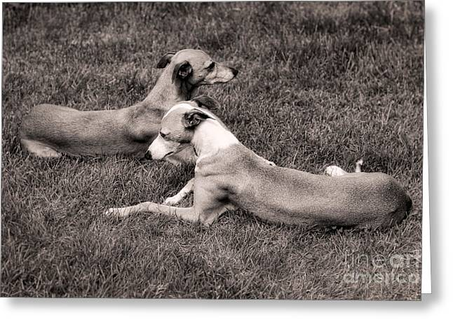 Whippet Greeting Cards - Lazy Summer Day Greeting Card by Ari Salmela