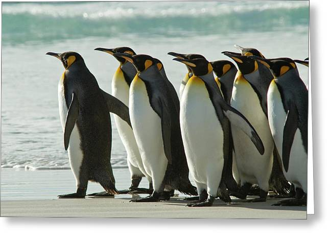 Falklands Greeting Cards - Leader of the Pack Greeting Card by Mark H Roberts