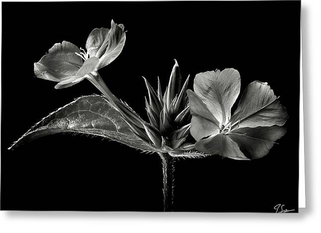 Flower Photos Greeting Cards - Leadwort in Black and White Greeting Card by Endre Balogh