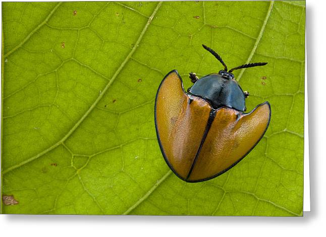Animals And Insects Greeting Cards - Leaf Beetle  In Rainforest Paramaribo Greeting Card by Piotr Naskrecki
