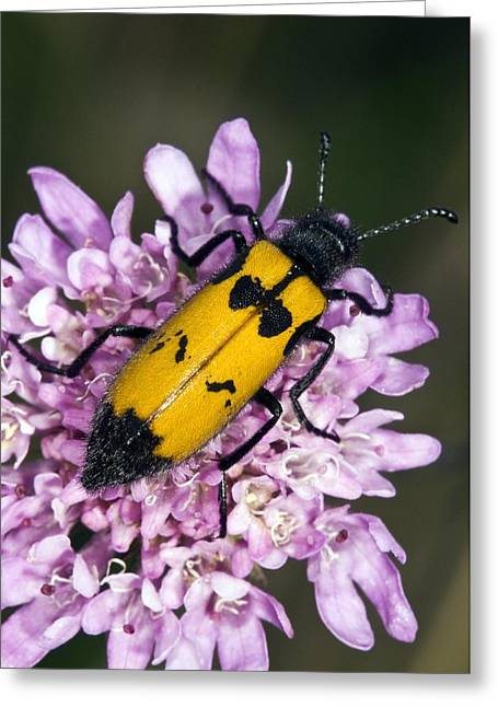Invertebrates Greeting Cards - Leaf Beetle Greeting Card by Paul Harcourt Davies