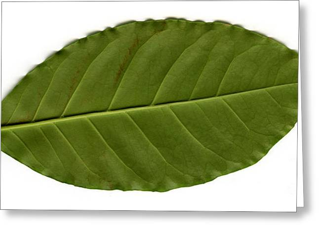 Silhouettable Greeting Cards - Leaf Of A Coffee Plant Coffea Sp Greeting Card by Ted Kinsman