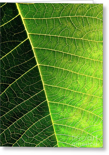 Photosynthesis Greeting Cards - Leaf Texture Greeting Card by Carlos Caetano