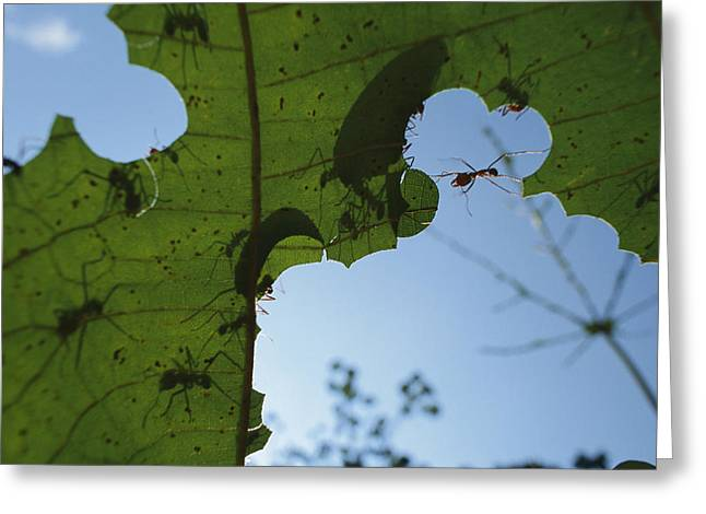 Atta Greeting Cards - Leafcutter Ant Atta Columbica Workers Greeting Card by Christian Ziegler