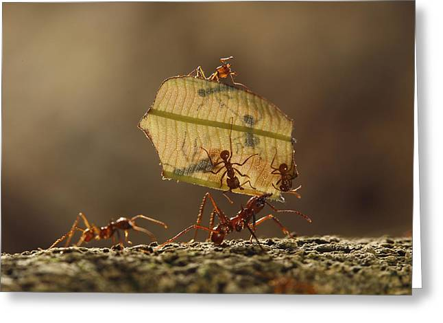 Atta Greeting Cards - Leafcutter Ant Atta Sp Group Carrying Greeting Card by Cyril Ruoso