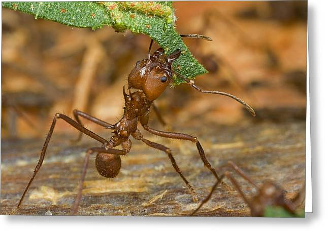 Guyana Greeting Cards - Leafcutter Ant Major Worker  Guyana Greeting Card by Piotr Naskrecki