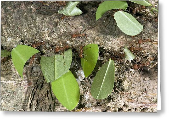 Atta Greeting Cards - Leafcutter Ants Carrying Leaves Greeting Card by Bob Gibbons