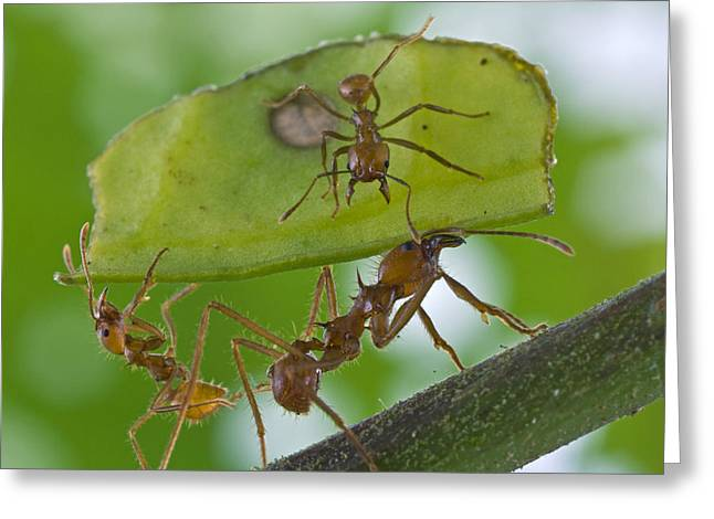 Atta Greeting Cards - Leafcutter Ants Costa Rica Greeting Card by Piotr Naskrecki