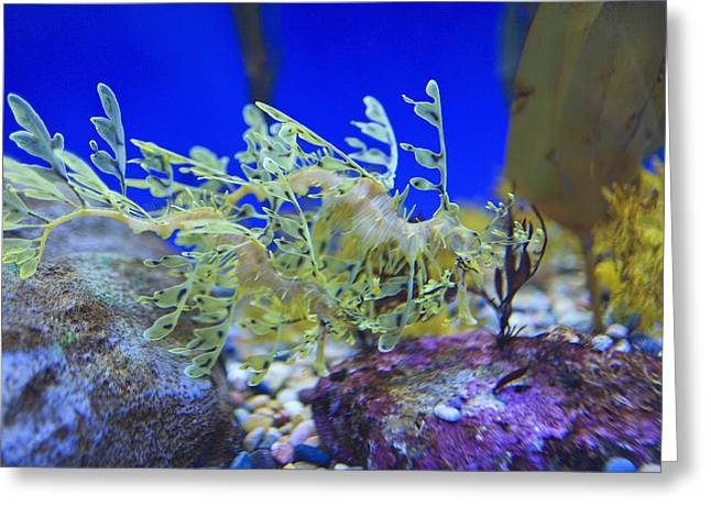 Leafy Sea Dragon Photographs Greeting Cards - Leafy Seadragon Phycodurus Eques At The Greeting Card by Stuart Westmorland