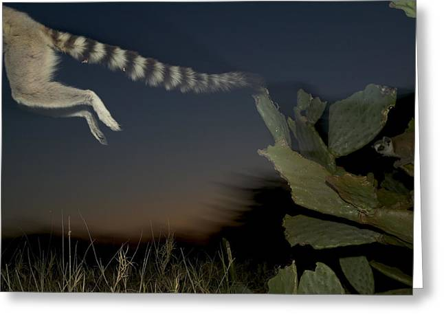 Berenty Private Reserve Greeting Cards - Leaping Ring-tailed Lemur  Greeting Card by Cyril Ruoso