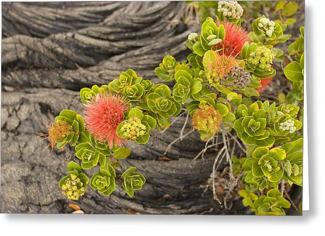 Beginning Greeting Cards - Lehua Flower Greeting Card by Ron Dahlquist - Printscapes