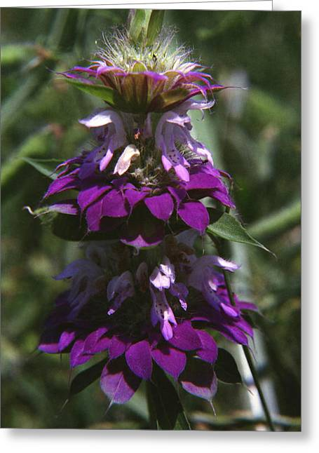 Horsemint Greeting Cards - Lemon Bee Balm Greeting Card by Stephanie Smith