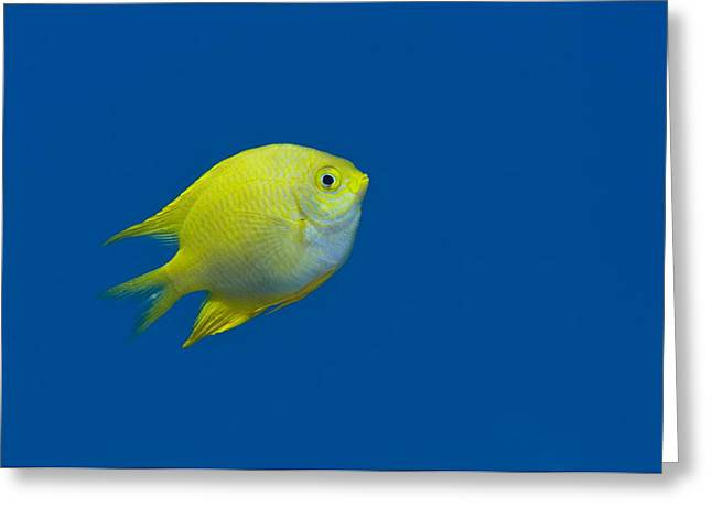 Damselfish Greeting Cards - Lemon Damselfish Greeting Card by Louise Murray