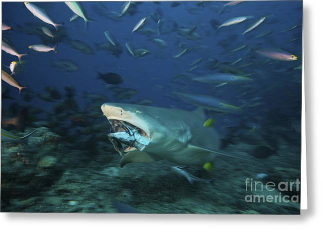 Undersea Photography Greeting Cards - Lemon Shark Chomps Down On A Large Tuna Greeting Card by Terry Moore