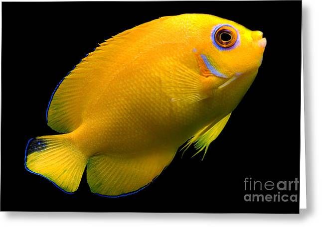 Reef Fish Greeting Cards - Lemonpeel Angelfish Greeting Card by Danté Fenolio