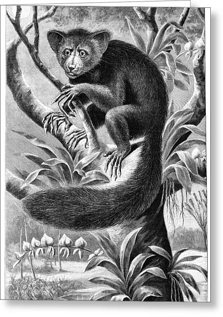 Aye Greeting Cards - Lemur, Early 20th Century Greeting Card by