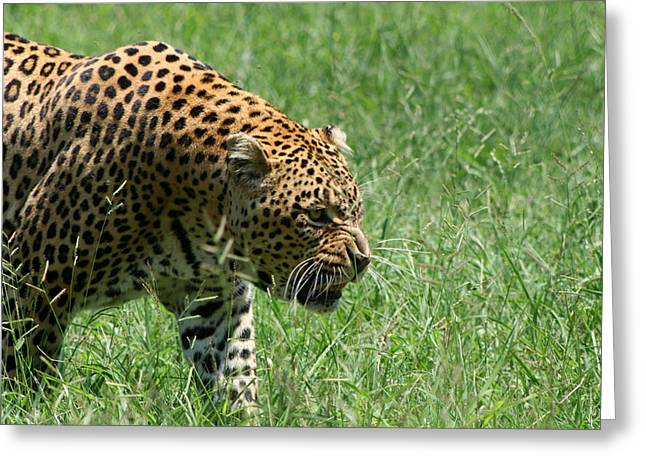 Golden Leopard Greeting Cards - Leopard Greeting Card by Deborah Hall Barry